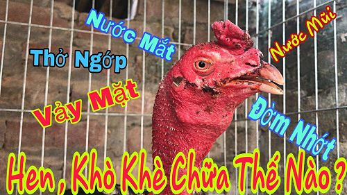 Cách chữa hen cho gà chọi