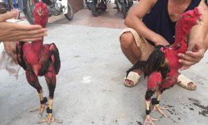 Cách om gà chọi đỏ đẹp