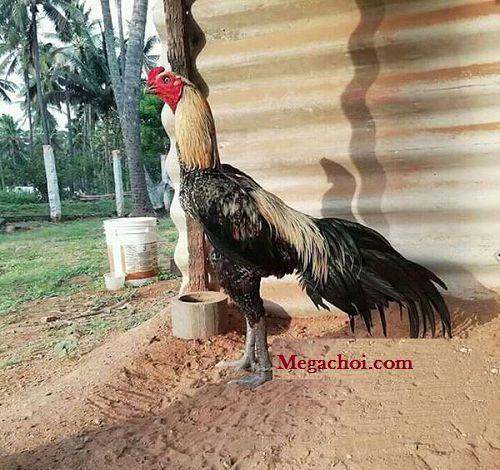 Cách nuôi gà nhanh ra lông