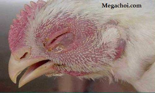 Những loại bệnh liên quan đến đường hô hấp của gà