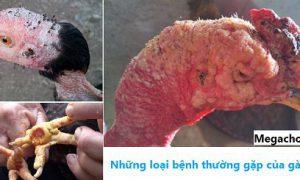 Bệnh thường gặp của gà chọi