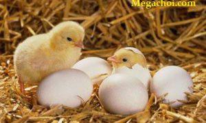 Những yếu tố ảnh hưởng đến tỷ lệ nở của trứng