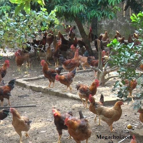 Chăm sóc gà thả vườn