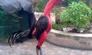 Cách Tăng, Giảm Cân cho gà chọi