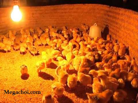 Đèn sưởi ấm cho gà
