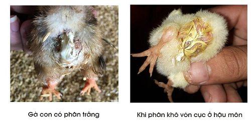 Triệu chứng bệnh thương hàn ở gà con