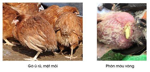 Triệu chứng bệnh thương hàn ở gà trưởng thành