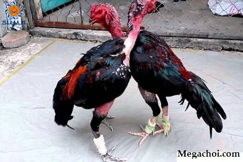 cách giảm cân cho gà chọi