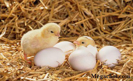 Phân biệt trống, mái qua hình dạng trứng
