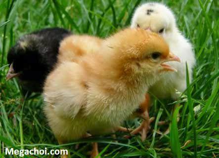 Xác định giới tính gà qua màu lông
