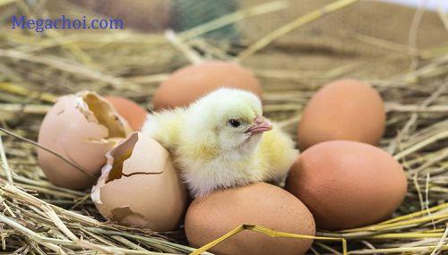 Bảo quản trứng gà ấp