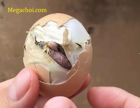 Gà chết trong trứng