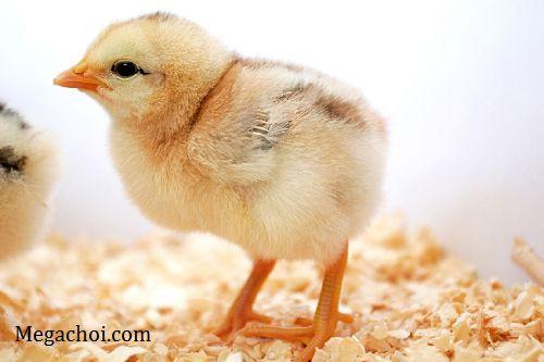 Tăng sức đề kháng cho gà con