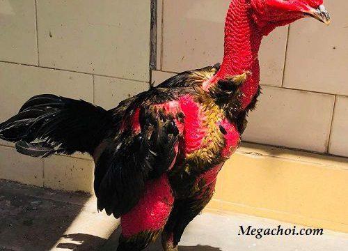 Cách chữa gà bị cúm chân