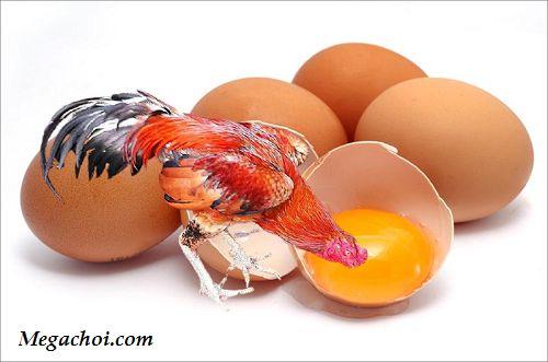 Cho gà chọi ăn lòng đỏ trứng gà