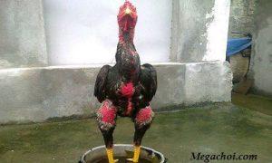 Ngâm chân cho gà chọi