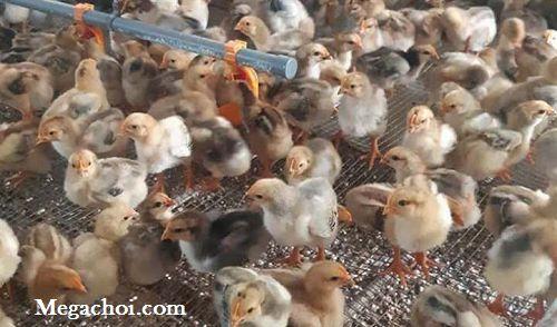 Nâng cao sức khoẻ cho đàn gà con