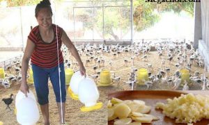 Cho gà uống nước tỏi